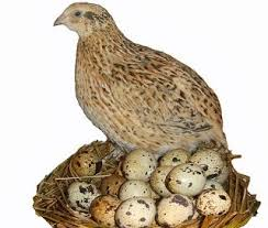 quail_and_eggs